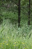 Selective focus on tall grass in the wetlands. Background shows a stand of trees in southwestern British Columbia.