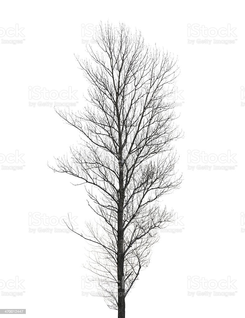 Tall poplar tree without leaves in winter isolated on white stock photo