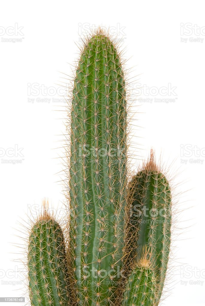 A tall prickly cactus on a white background. royalty-free stock photo