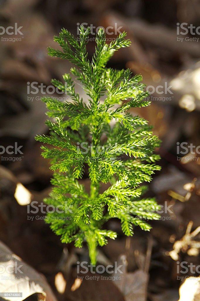 Tall Princess pine royalty-free stock photo