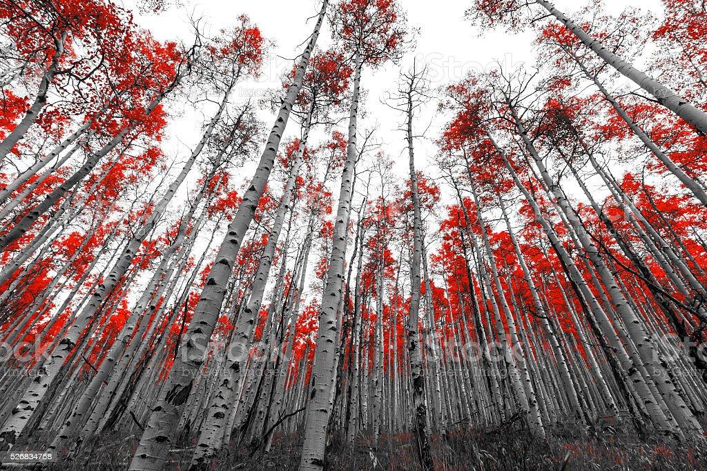 Fotografía De Alto Rojo árboles En Paisaje En Blanco Y Negro Y Más