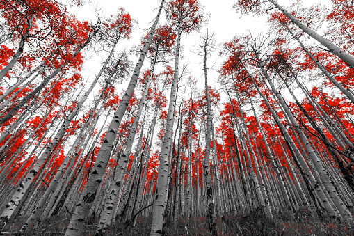 istock Tall Red Trees in Black and White Landscape 526834758