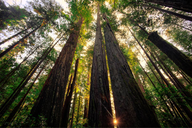 Tall Redwoods Forest Taken in Redwoods National & State Parks, California redwood tree stock pictures, royalty-free photos & images