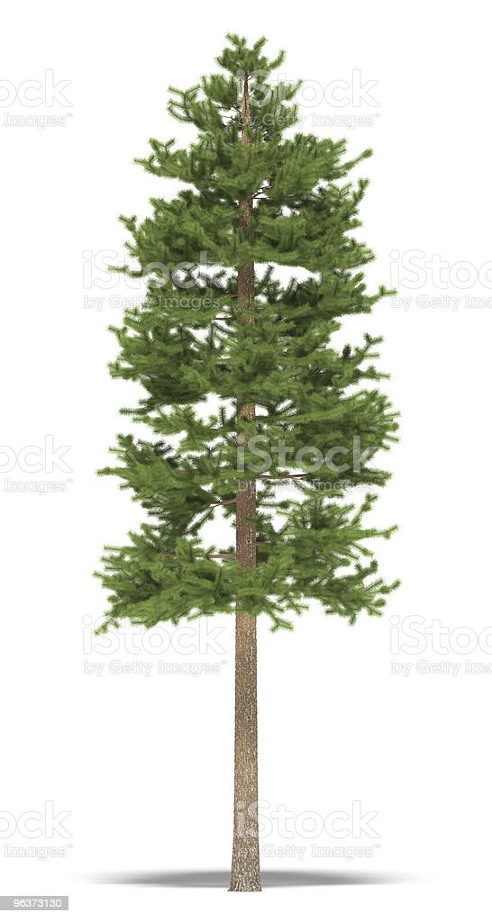 Tall slender pine tree isolated on white background royalty-free stock photo