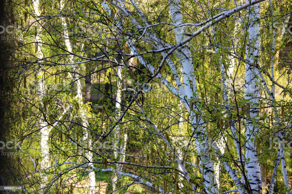 Tall slender white birch trunks with fresh leaves royalty-free stock photo