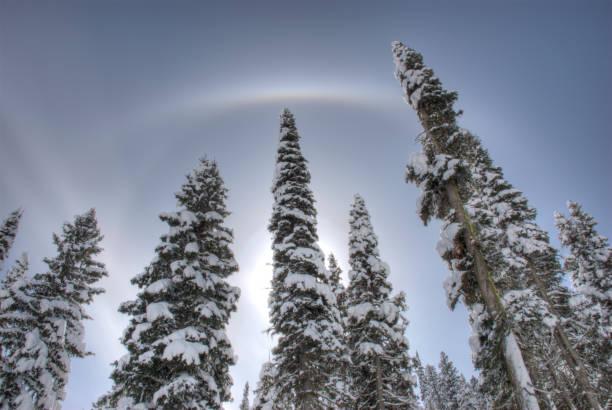 Hoge torenspits zoals terug verlichte sneeuw bedekte Lodge Pole Pine Trees foto