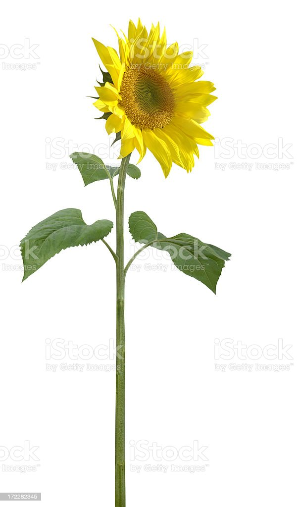 Tall Sunflower royalty-free stock photo