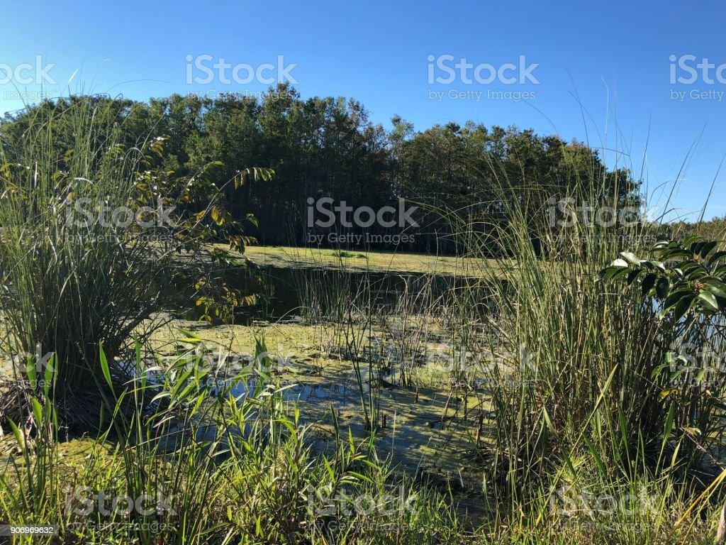 tall swamp grass stock photo