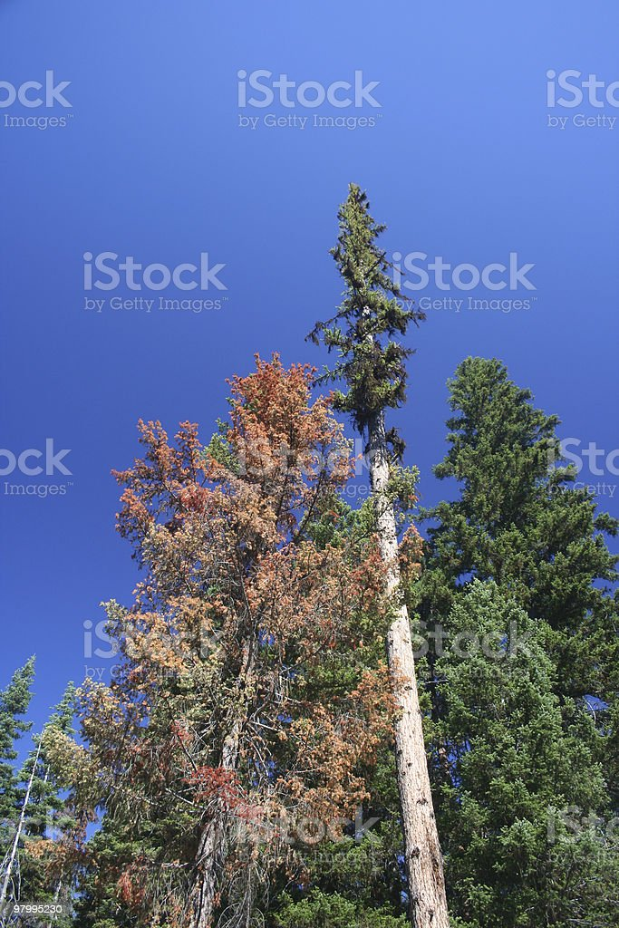 Tall Timber royalty-free stock photo
