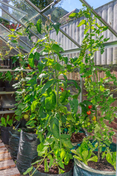 Hohe Tomaten- und Gurkenpflanzen, die in einem grünen Haus im Hinterhof oder Garten wachsen. Die Pflanzen sind in großen schwarzen Säcken Erde und sind gebunden, um sie an der Spitze mit Schnur zu einem offenen Fenster zu stützen. – Foto