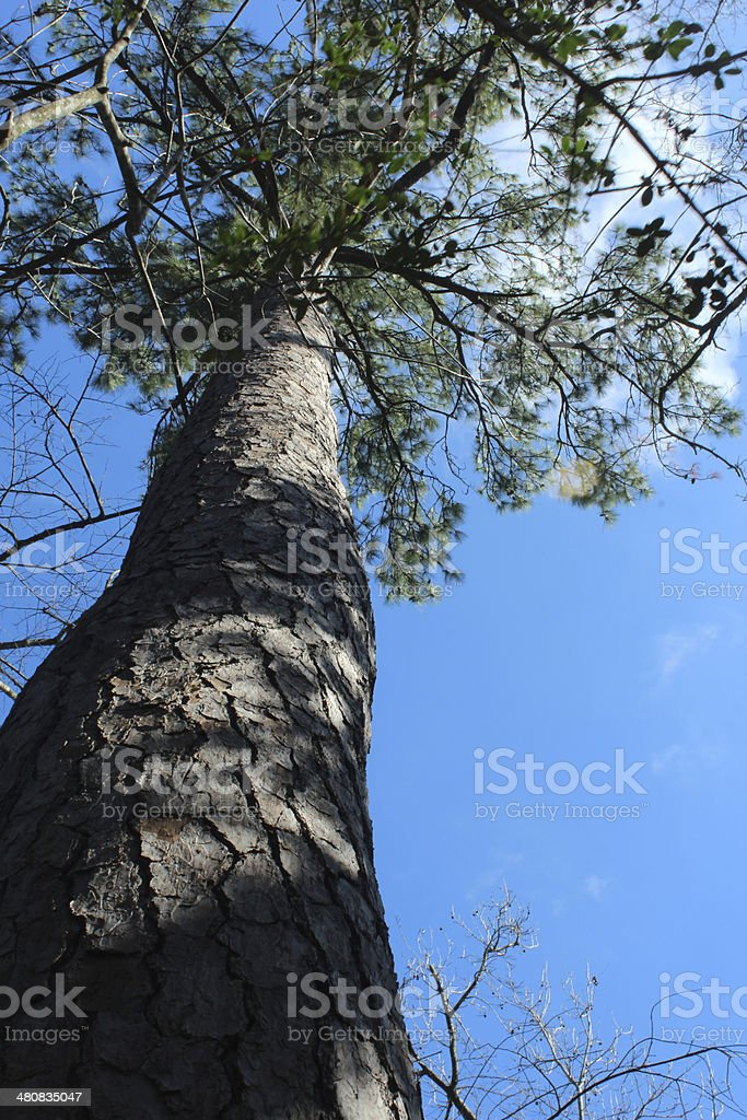 Tall Tree and Blue Sky From Below royalty-free stock photo