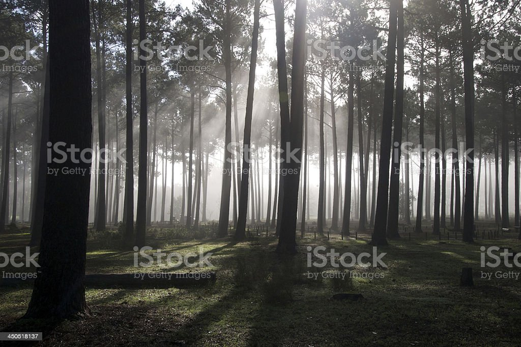 Tall Tree Forest stock photo