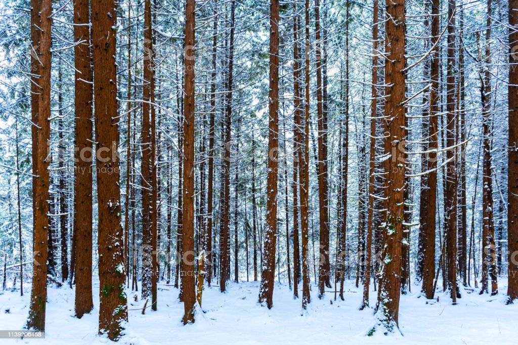 Tall tree trunks covered in snow in a snowy forest scene, with...