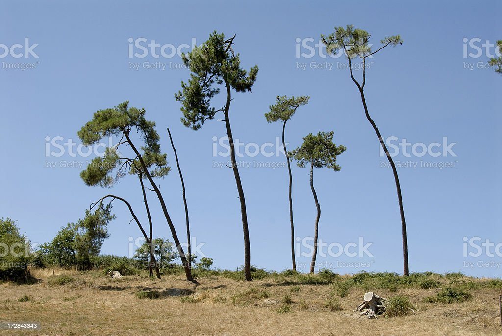 tall trees catch much wind stock photo