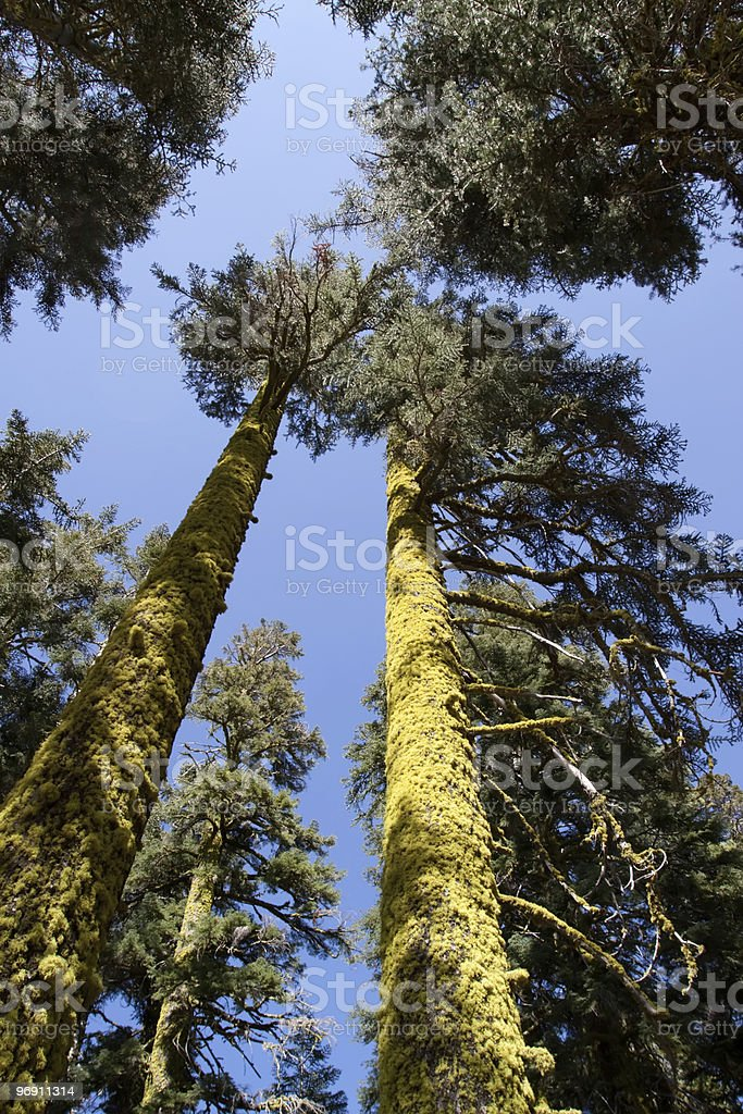 Tall trees covered with moss royalty-free stock photo