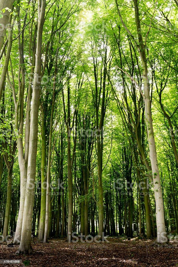 Tall trees, frischen grünen leafes, Hintergrundbeleuchtung von der Sonne – Foto