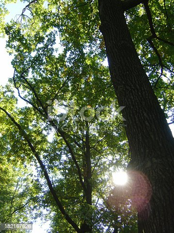 1068588904istockphoto Tall Trees In A Forest With The Sun Shining 182167626