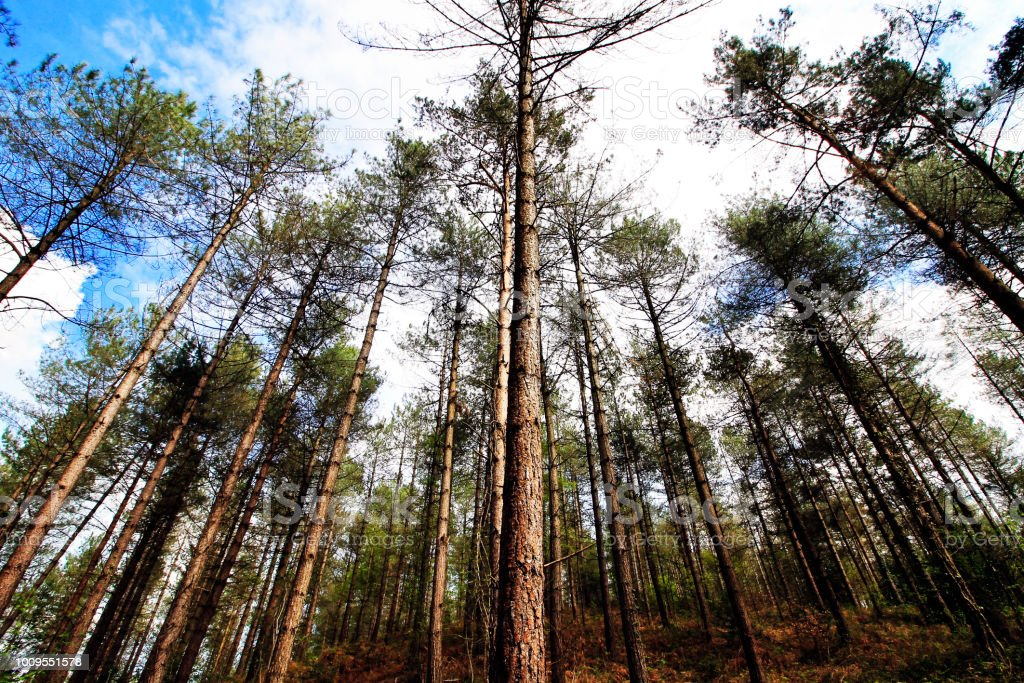 A photo of tall trees in the woods.