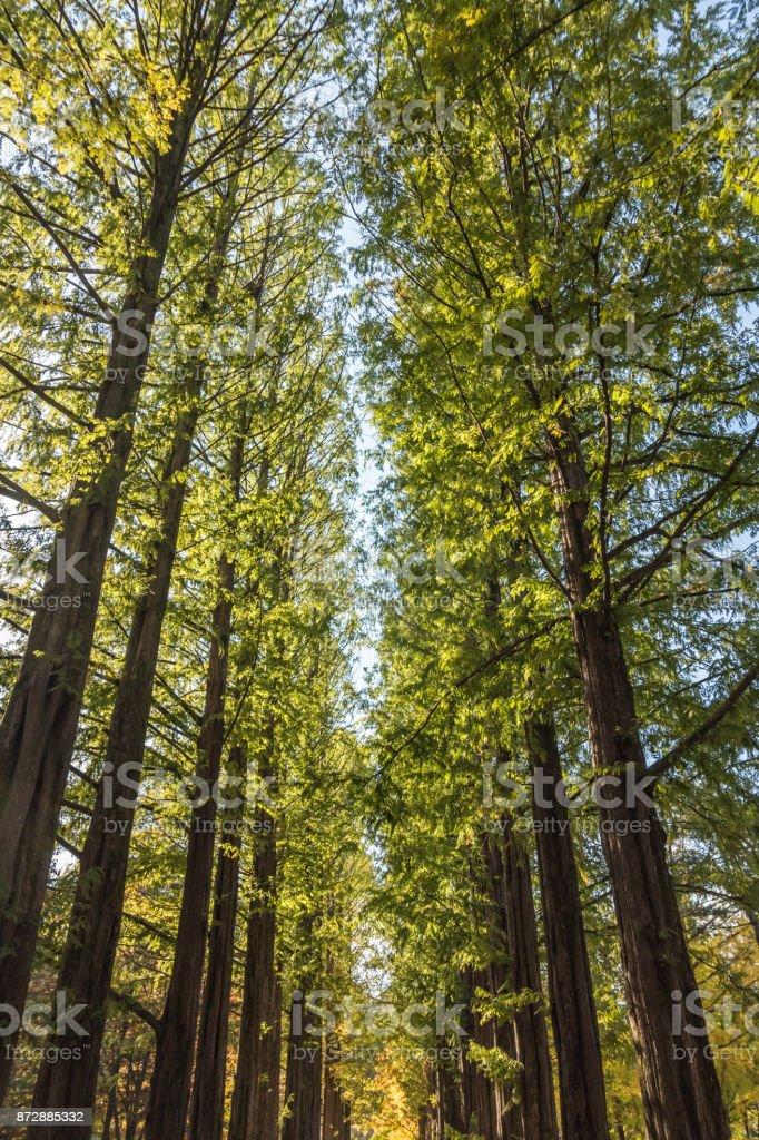 Tall trees on Nami Island in South Korea stock photo