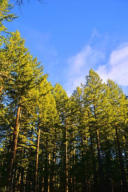 Tall trees picture id530539225?b=1&k=6&m=530539225&s=612x612&w=0&h=vc6snlujngbxqtssrn hzti8cw8k8xfkpfia5pdc9dc=