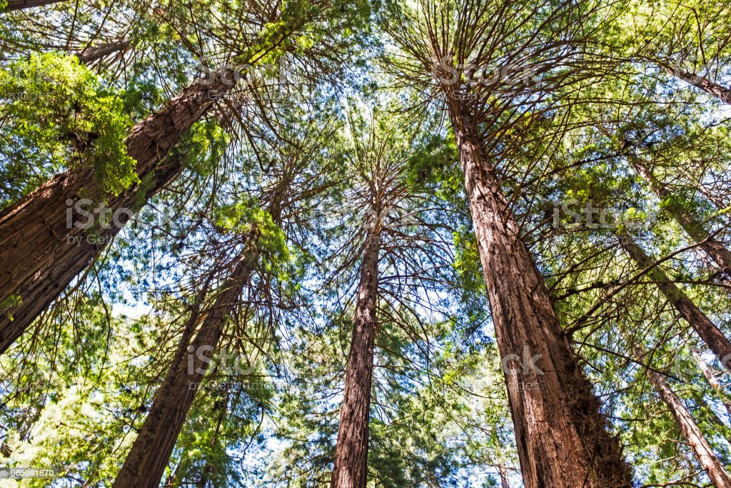 Tall trees standing - Royalty-free Branch - Plant Part Stock Photo