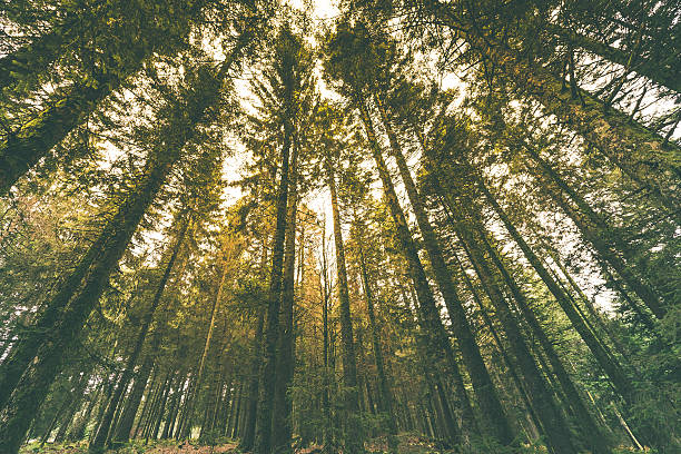 Tall Trees under bright sunlight Burst of Sunlight passing through trees. Image from Black Forest, Germany. black forest stock pictures, royalty-free photos & images