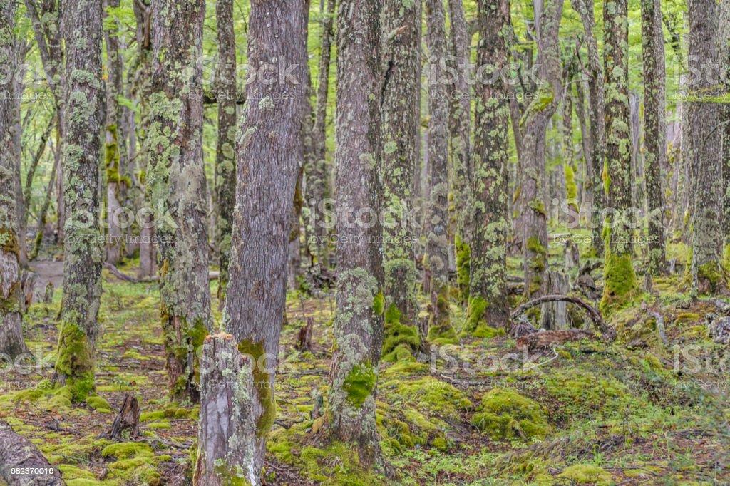 Höga träd med mossa på Patagonia skog, Argentina royaltyfri bildbanksbilder