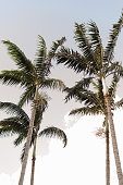 Tall Palm Trees and elegant scenes of Palm Beach, Florida.