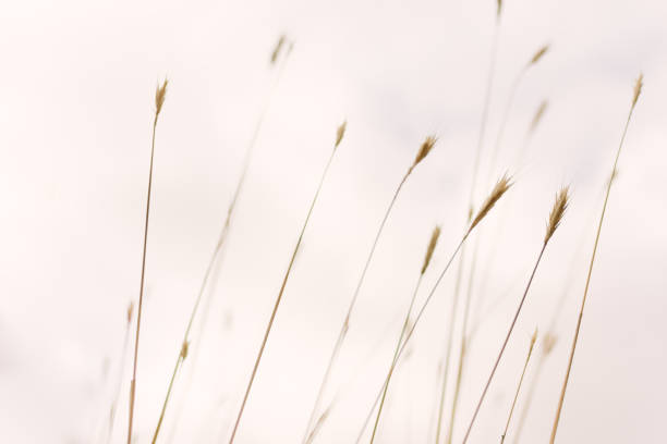 Tall wild grass against a cloudy sky stock photo