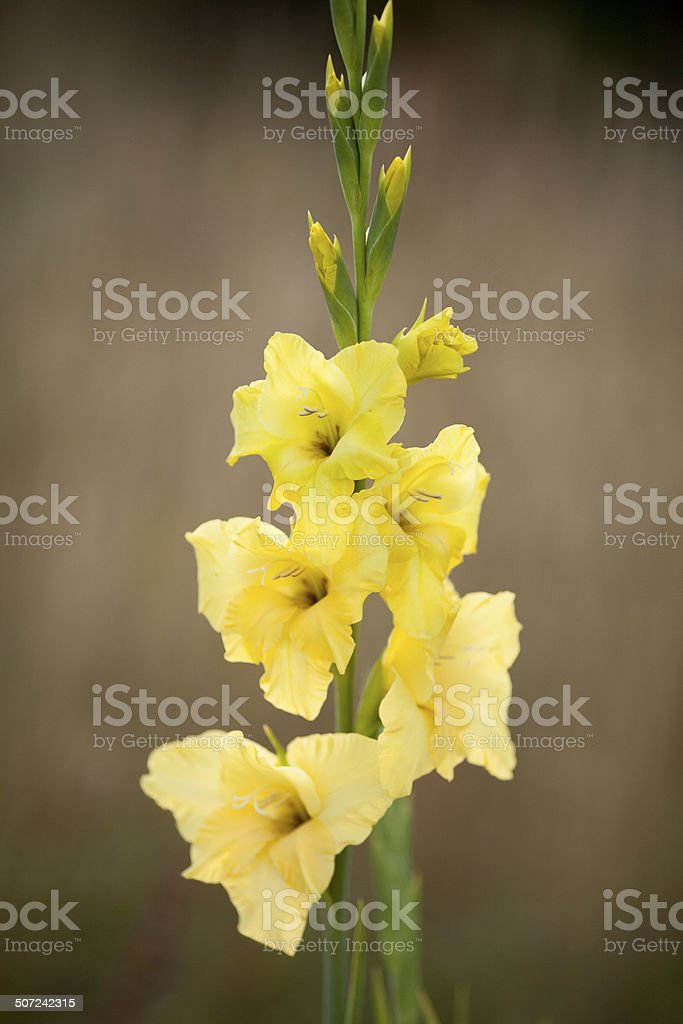 Tall yellow flower gladioli against muted background royalty-free stock photo