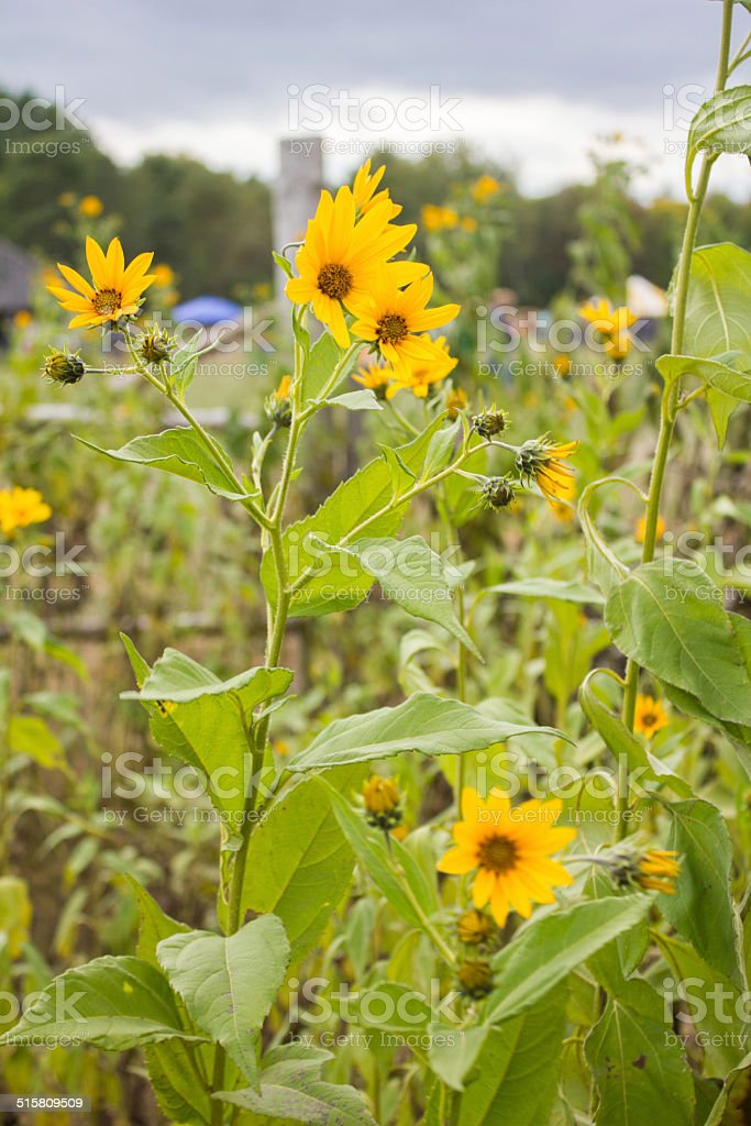 Tall Yellow Flowers royalty-free stock photo
