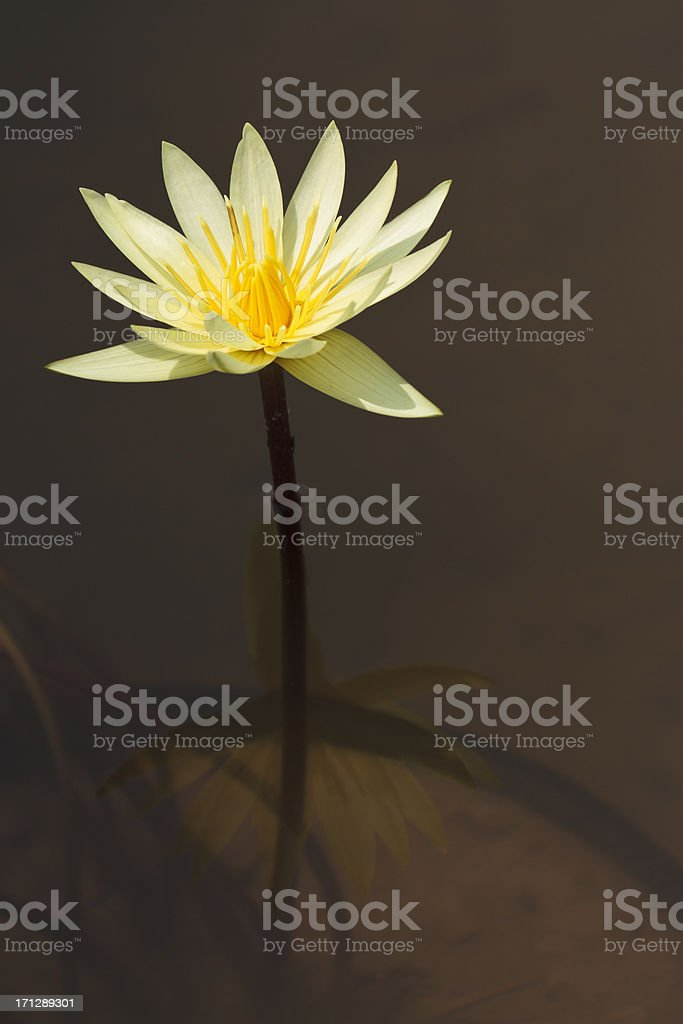 Tall Yellow Water Lily stock photo