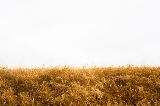 Tall Yellow Wild Grass Against an Isolated White Sky