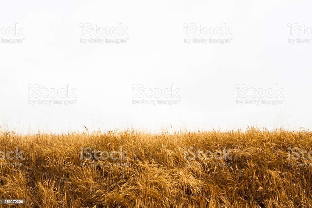Tall Yellow Wild Grass Against an Isolated White Sky stock photo