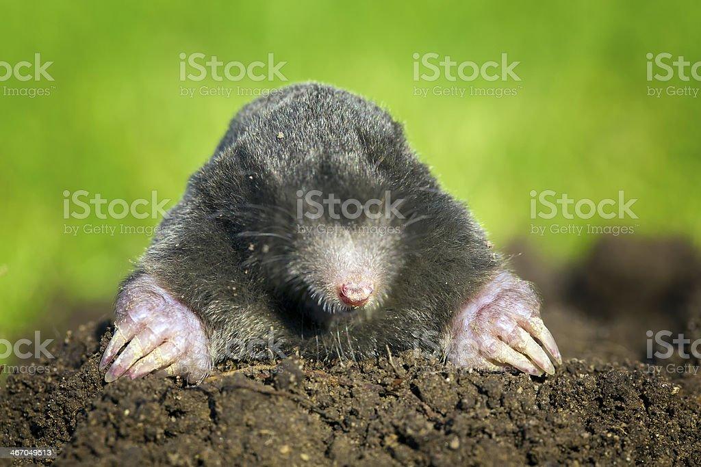 Schwarze europaea, europäischen Mole – Foto
