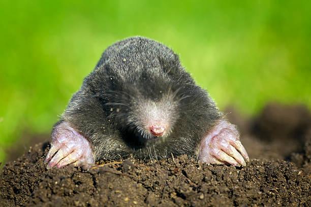 Talpa europaea, European mole coming out of its burrow black mole   mole animal stock pictures, royalty-free photos & images