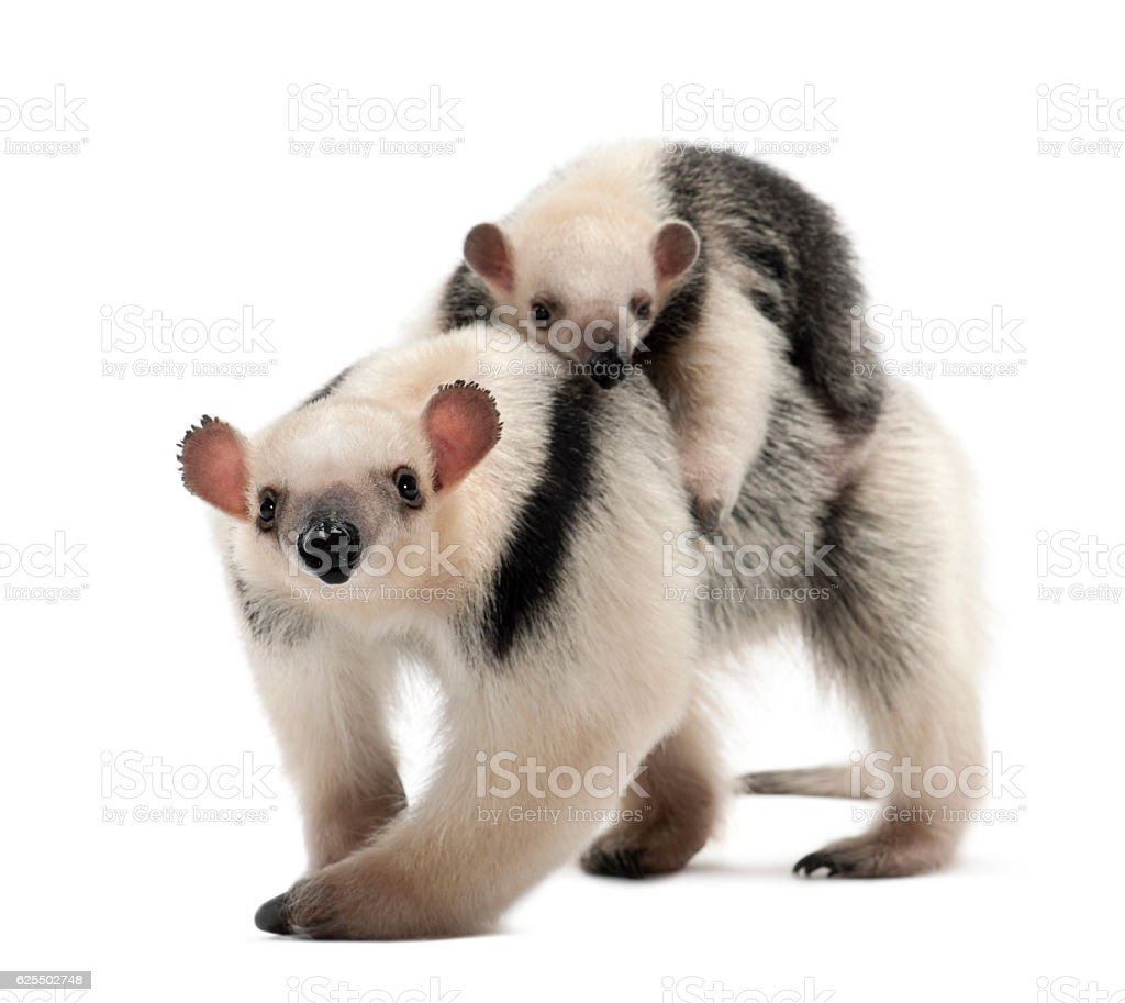 Tamandua walking in front of a white background stock photo