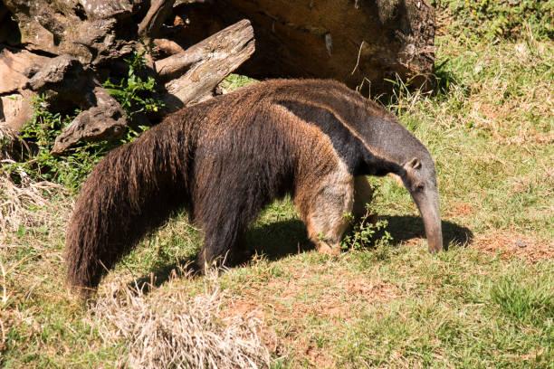 Tamanduá-Flag Tamanduá-bandeira no cerrado do interior paulista (Sorocaba). Giant Anteater stock pictures, royalty-free photos & images