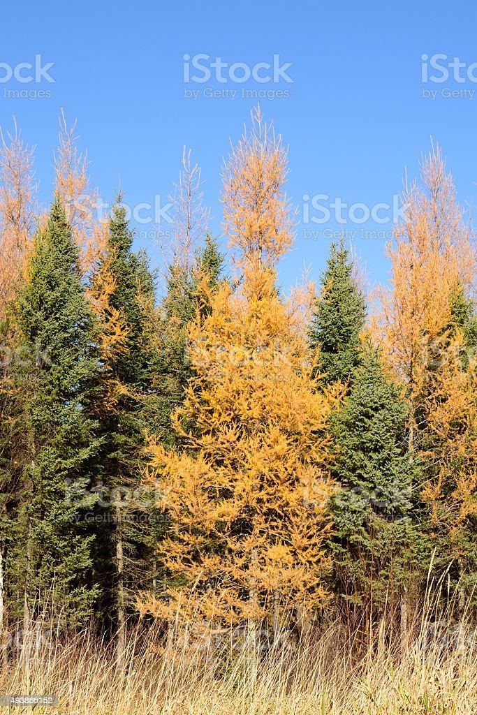 Tamarack (Larix laricina) and Black Spruce (Picea mariana) in Autumn stock photo
