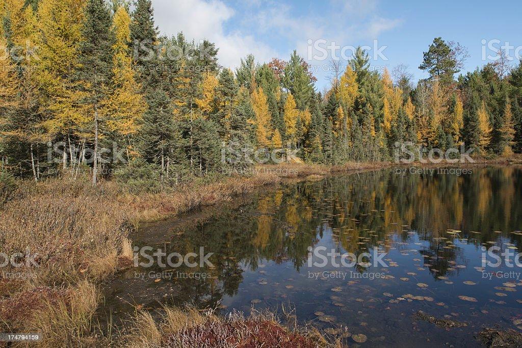 Tamarack Fall colors royalty-free stock photo
