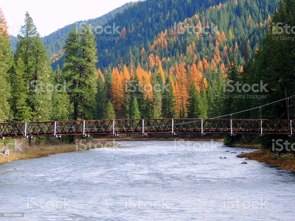 Tamaracks along Lochsa River in Idaho. stock photo