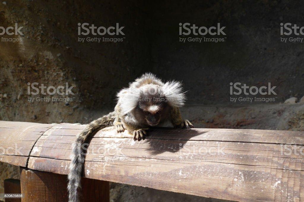 tamarin stock photo