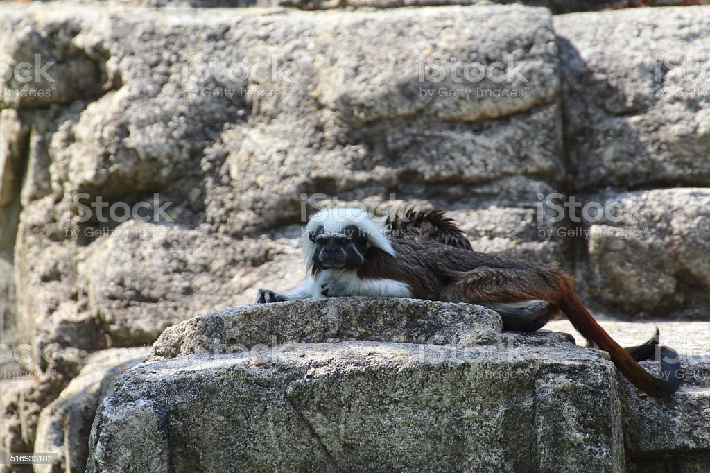 tamarin rests on the rocks near his lair stock photo