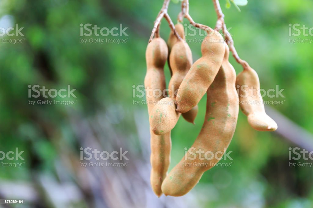 Tamarind Fruit Hanging Down from Its Tree in Tropical Asia stock photo