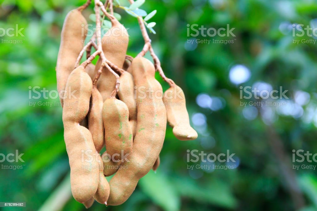 Tamarind Fruit Hangs Down Its Tree in Tropical Asia stock photo