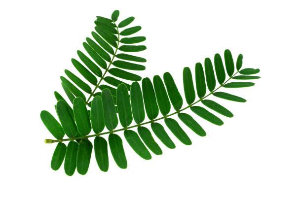 tamarin feuilles isolé sur fond blanc - tamarin photos et images de collection
