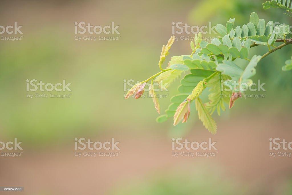 Tarmarindo hojas. foto de stock libre de derechos