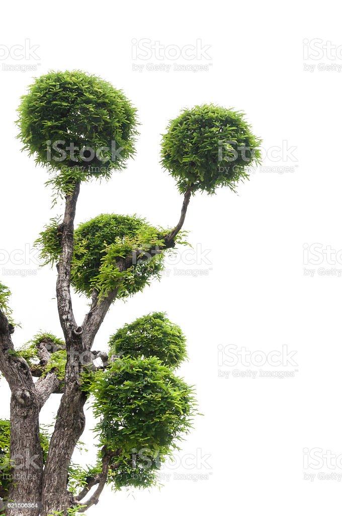 Tamarin arbre sur fond blanc photo libre de droits