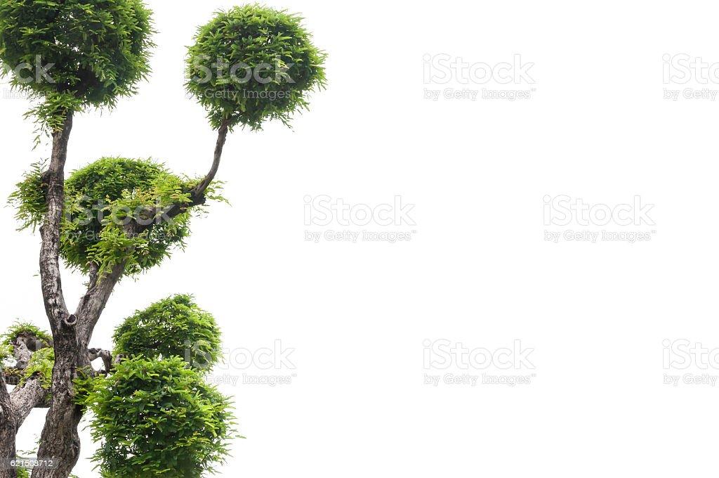 Tamarind albero su sfondo bianco foto stock royalty-free