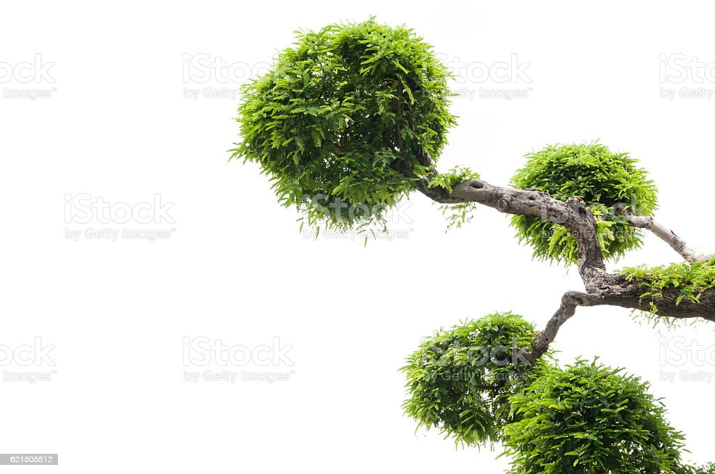 Tamarind tree on white background,green background foto stock royalty-free